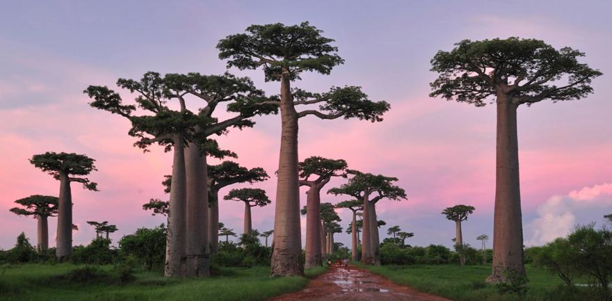 Baobabs de Grandidier – Madagascar