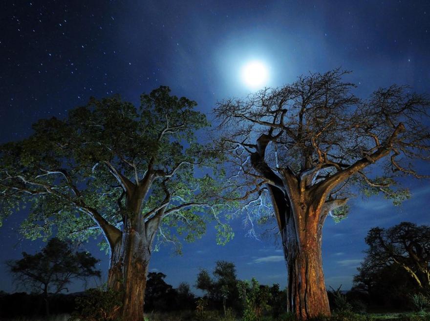 Baobabs de Tanzanie