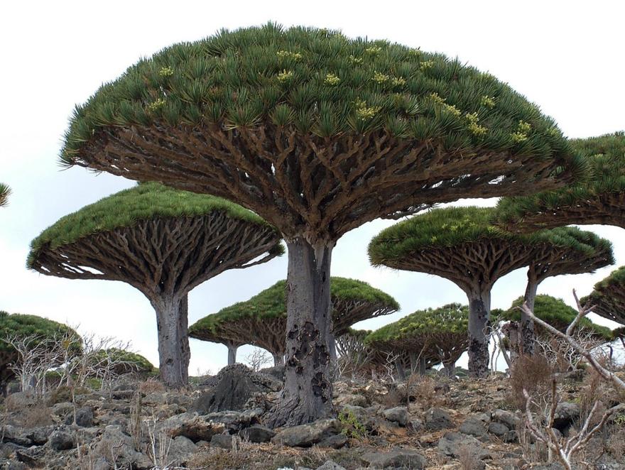 Dragonnier de Socotra – Ile de Socotra – Yemen