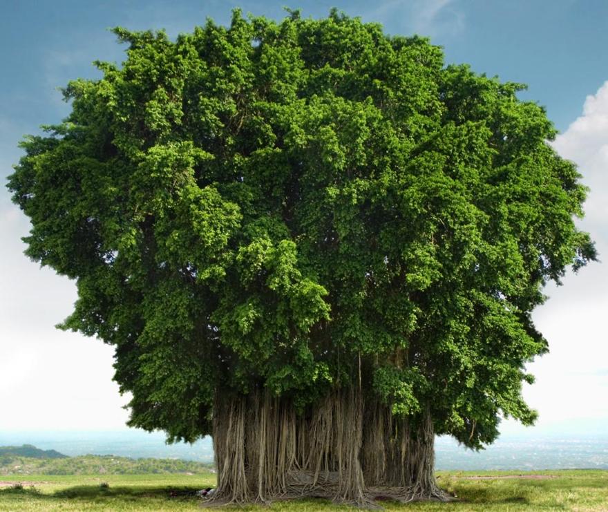 L'arbre Banyans - Calcutta - Inde