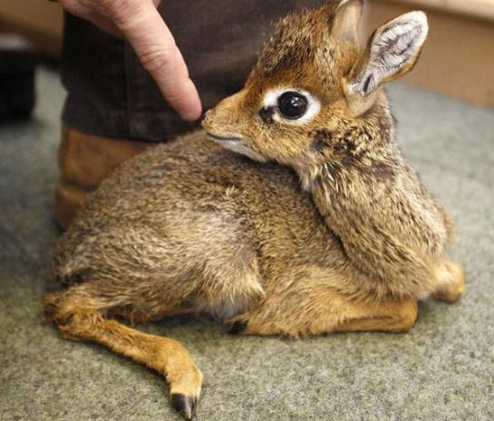 Le bébé antilope