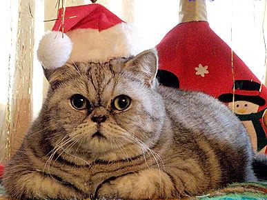 Gros chat pour Noël