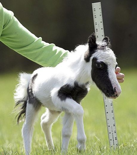 Le bébé poney nain