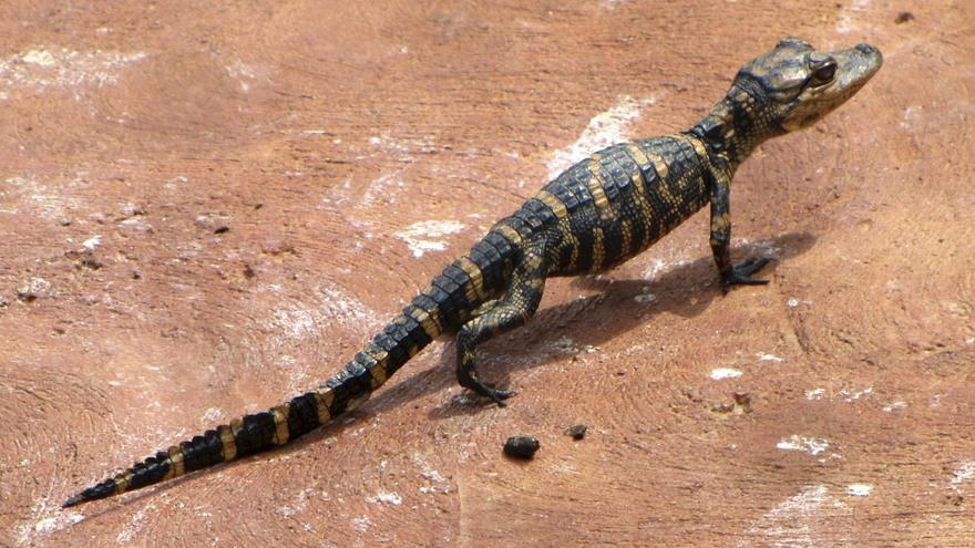 Le bébé aligator