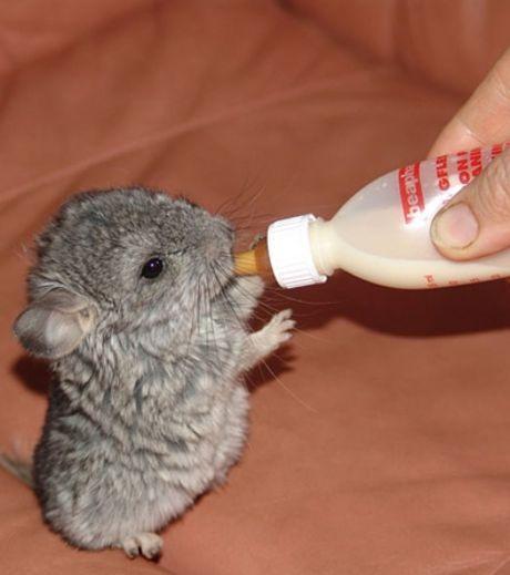 Le bébé chinchilla