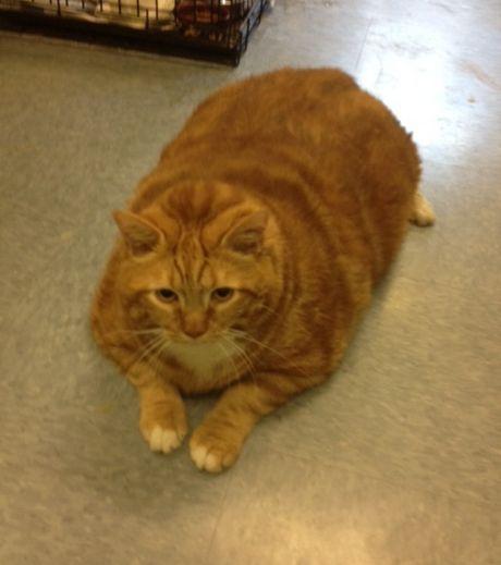 Très gros chat