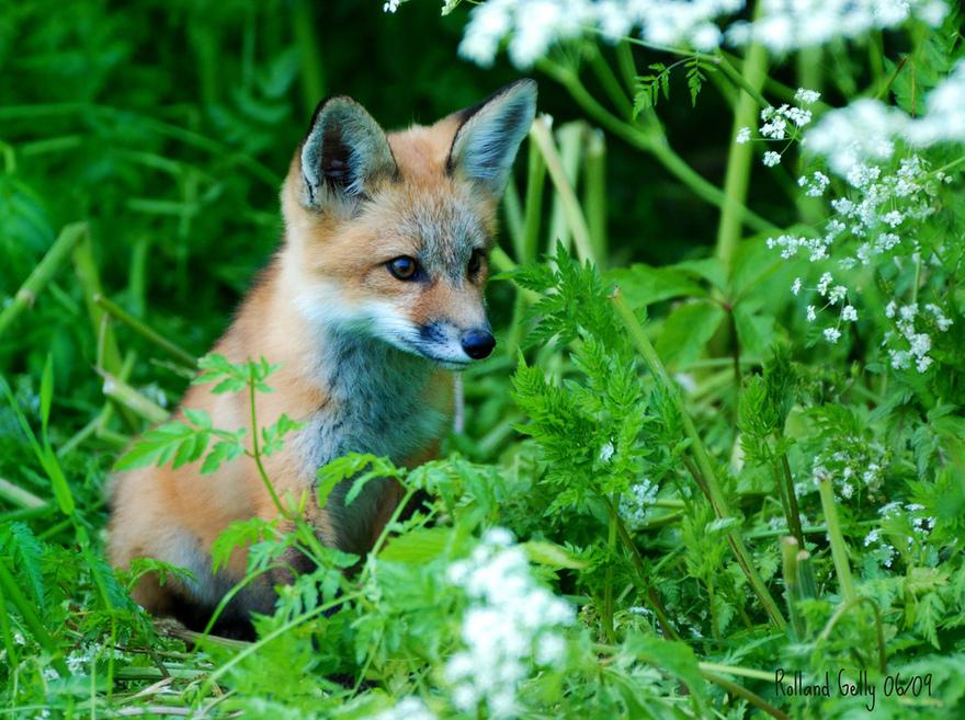 Le bébé renard