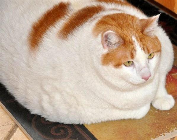 Top des gros chats