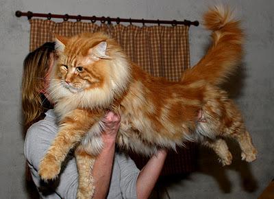 Top des plus gros chats au monde