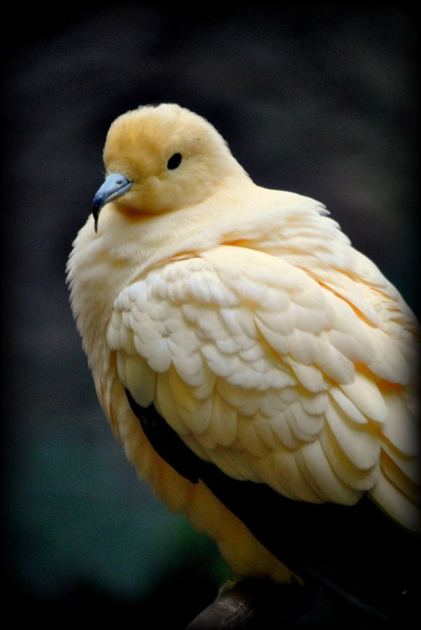 Carpophage blanc