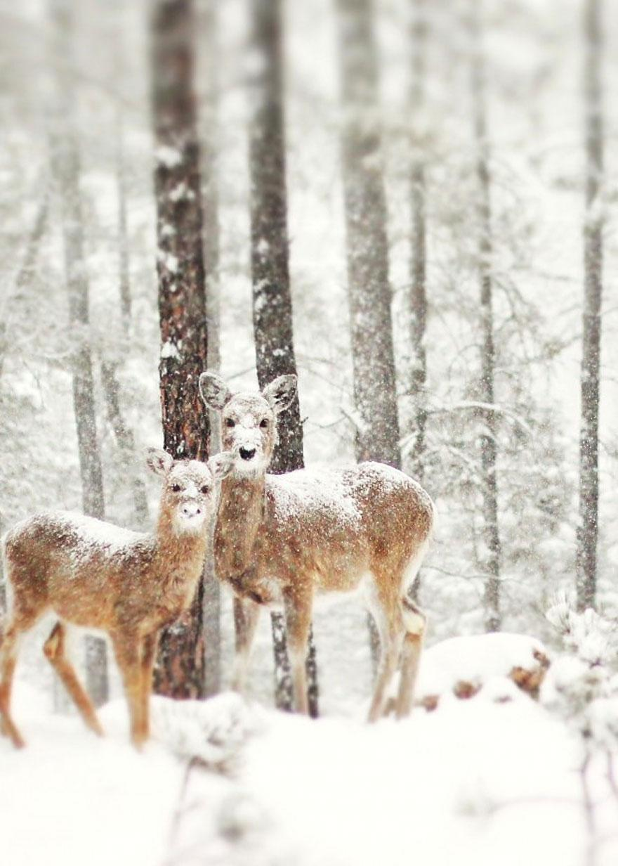 Des biches dans la neige