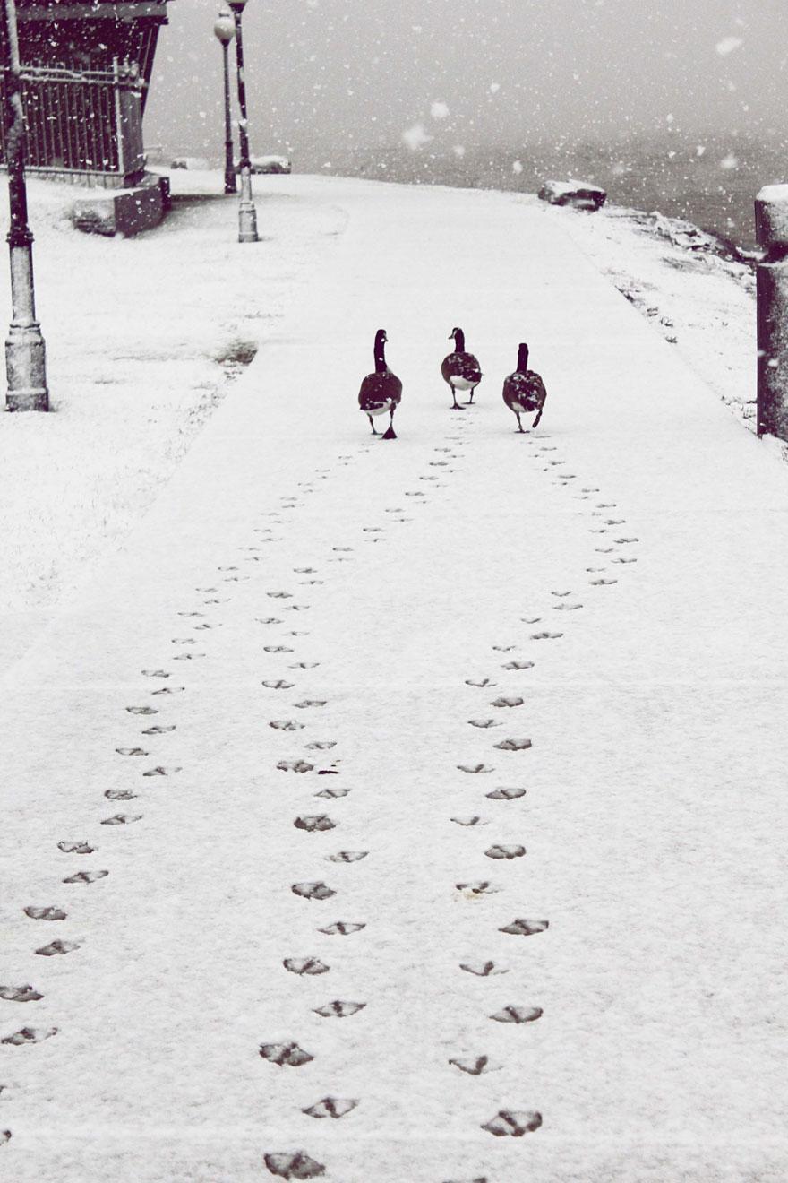 Des canards dans la neige