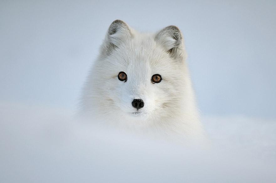 Un loup blanc dans la neige