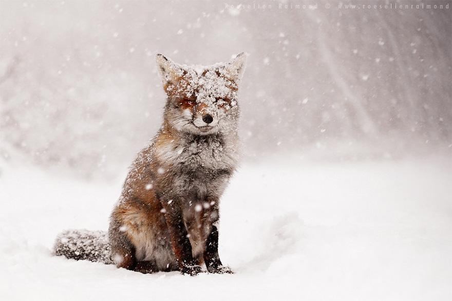 Un renard dans la neige