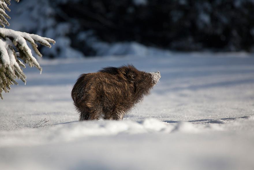 Un sanglier dans la neige