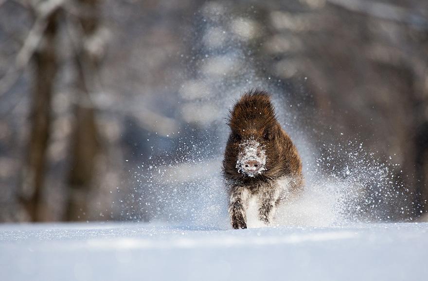 Un sanglier de face dans la neige
