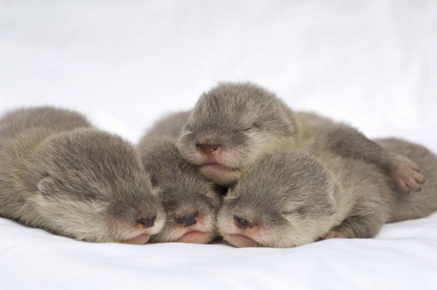 Câlins entre bébés loutres