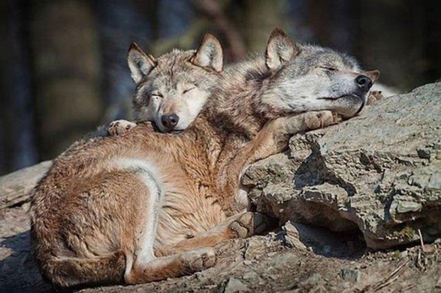 Câlins entre loups