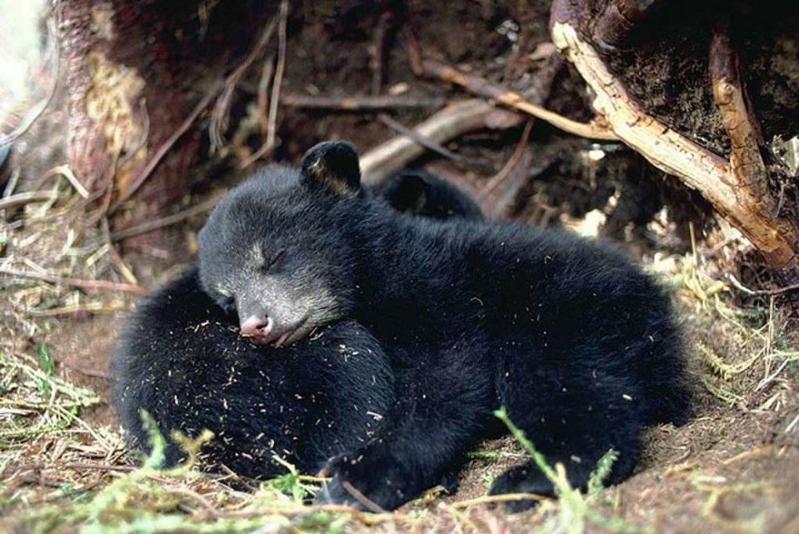 Câlins entre ours