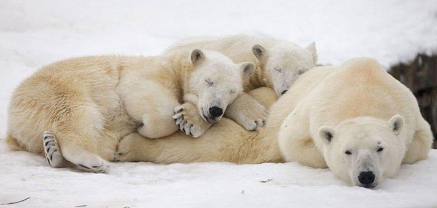 Câlins entre ours blancs