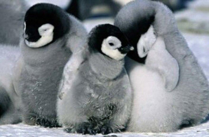 Câlins entre pingoins