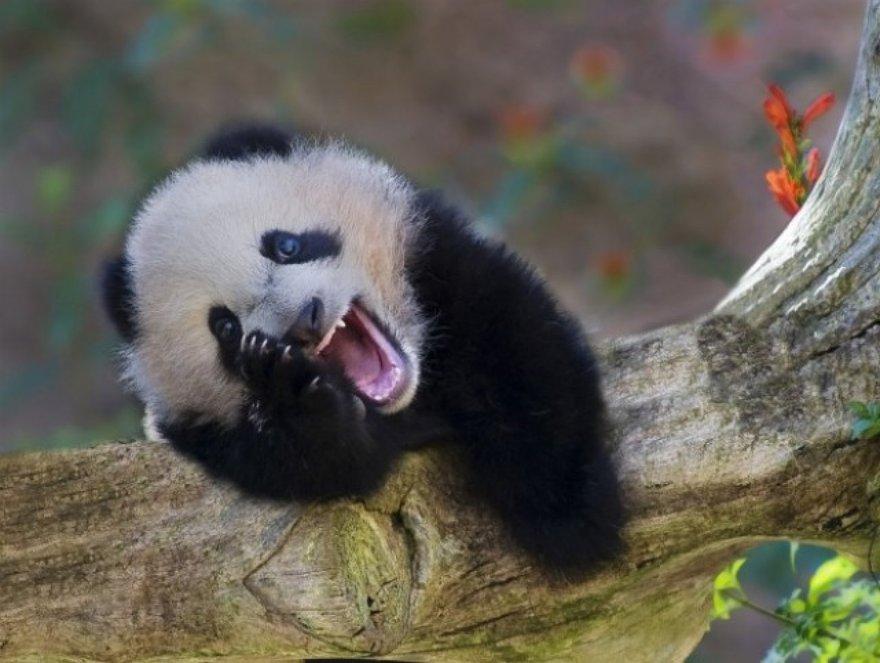 Un rire de panda