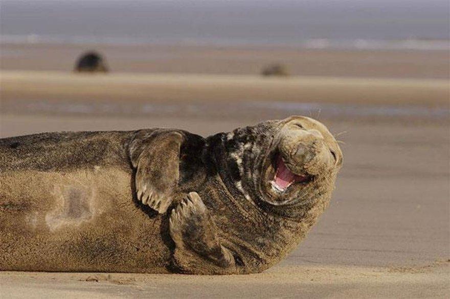 Un rire de phoque