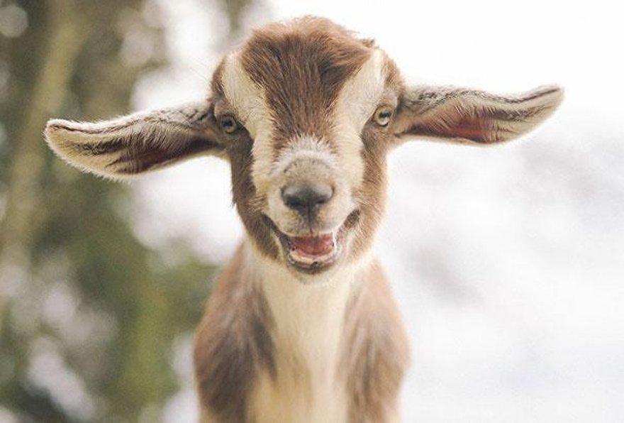 Un sourire de chèvre