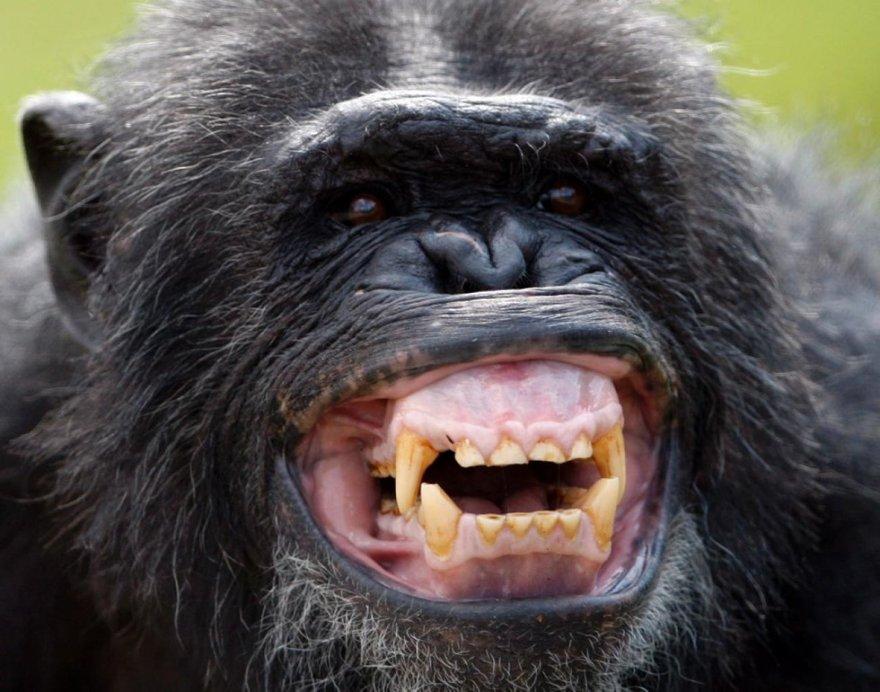 Un sourire de gorille