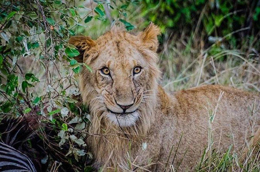 Un sourire de lion