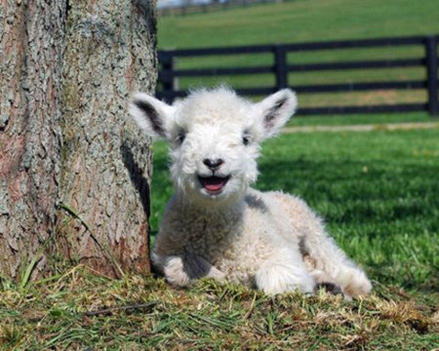 Un sourire de mouton