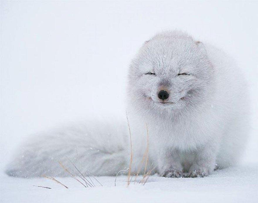 Un sourire de renard des neiges